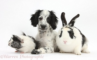 Black-and-white puppy with rabbit and Guinea pig