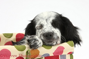 Black-and-white puppy sleeping in a basket