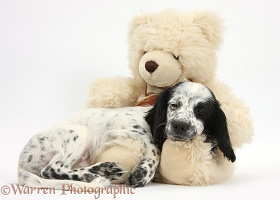 Black-and-white puppy sleeping on a teddy bear
