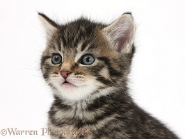 Cute tabby kitten, 6 weeks old