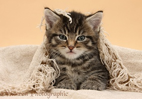 Cute tabby kitten, 6 weeks old, under a shawl