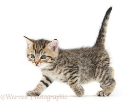Cute tabby kitten, 6 weeks old, walking across