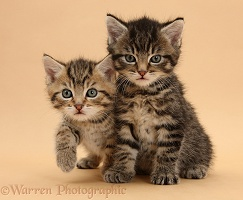 Two cute tabby kittens on beige background
