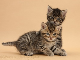 Cute tabby kittens, 6 weeks old, on beige background