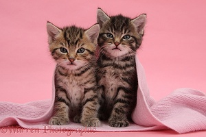 Cute tabby kittens, under a pink scarf