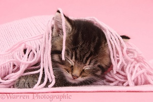 Cute tabby kitten sleeping under a pink scarf