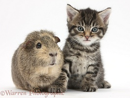 Cute tabby kitten with Guinea pig