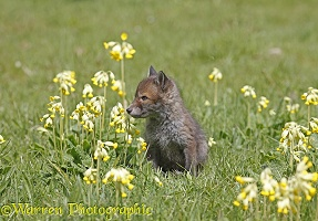 Red Fox cub among cowslips