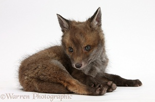 Red Fox cub vixen