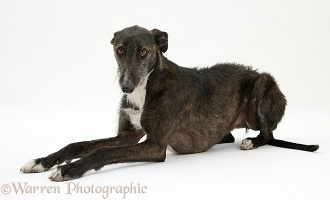 Lurcher dog, lying with head up