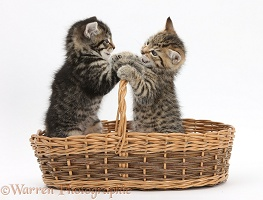 Cute playful tabby kittens, 6 weeks old, in a wicker basket