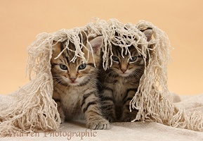 Cute tabby kittens, 6 weeks old, under a shawl