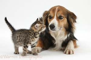Cute tabby kitten and Border Collie