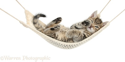 Cute tabby kitten lounging in a hammock