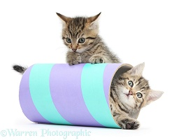 Two cute tabby kittens playing with a tube