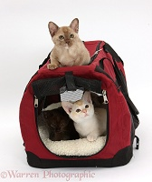 Burmese kittens in and on a cat carrier