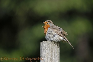 Robin sunning and singing