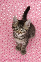 Cute tabby kitten, sitting on starry background