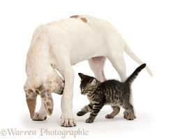 Cute tabby kitten with Great Dane puppy