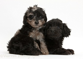 Black and black-and-grey merle Daxiedoodle pups