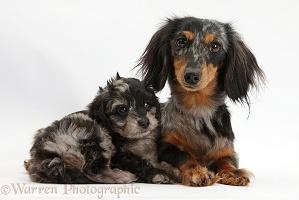 Dachshund and Daxiedoodle pup