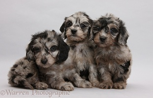 Three black-and-grey merle Daxiedoodle pups