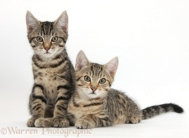Tabby kittens lounging together
