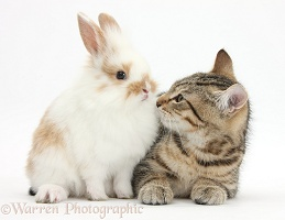 Tabby kitten with baby rabbit