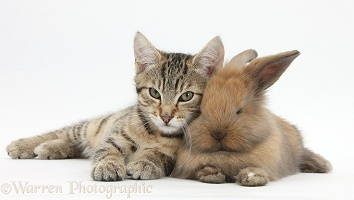 Tabby kitten with baby bunny