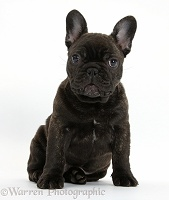Dark brindle French Bulldog pup, sitting
