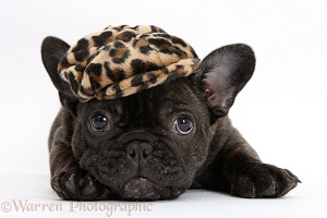 Dark brindle French Bulldog pup wearing a hat