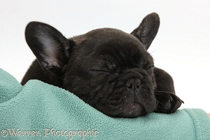 Dark brindle French Bulldog pup sleeping