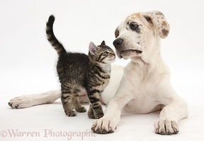 Tabby kitten with Great Dane puppy