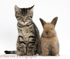 Tabby kitten with cute baby bunny