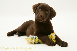 Chocolate Labrador Retriever pup with ragger toy