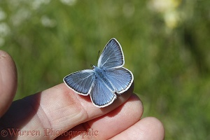 Amanda's Blue butterfly drinking sweat