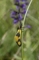 Ascalaphid or owlfly