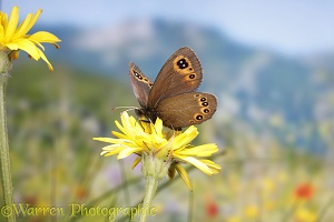 Bright-eyed Ringlet butterfly