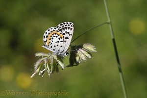 Chequered Blue butterfly