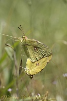 Clouded Yellow butterfly mating pair