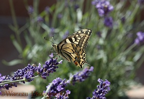 European Swallowtail on lavender