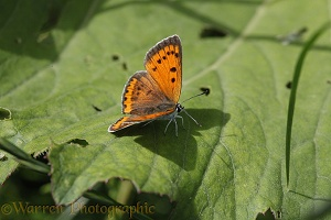 Large Copper butterfly female