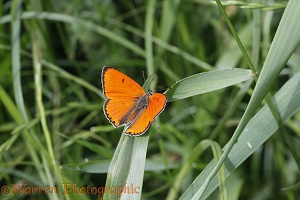 Large Copper butterfly male