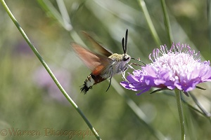 Olive Bee Hawkmoth