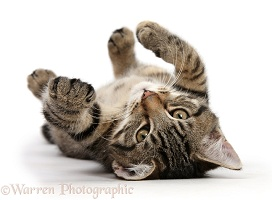 Tabby kitten rolling on his back