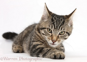 Tabby kitten lying with his head up