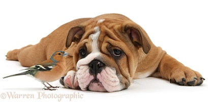 Bulldog pup, and Chaffinch