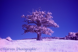 Ockley Oak - Summer infrared