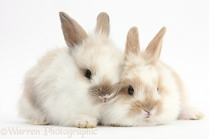 Two Baby Lionhead x Lop rabbits