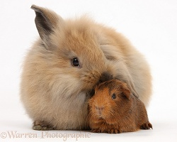 Windmill-eared Lionhead x Lop rabbit and baby Guinea pig
